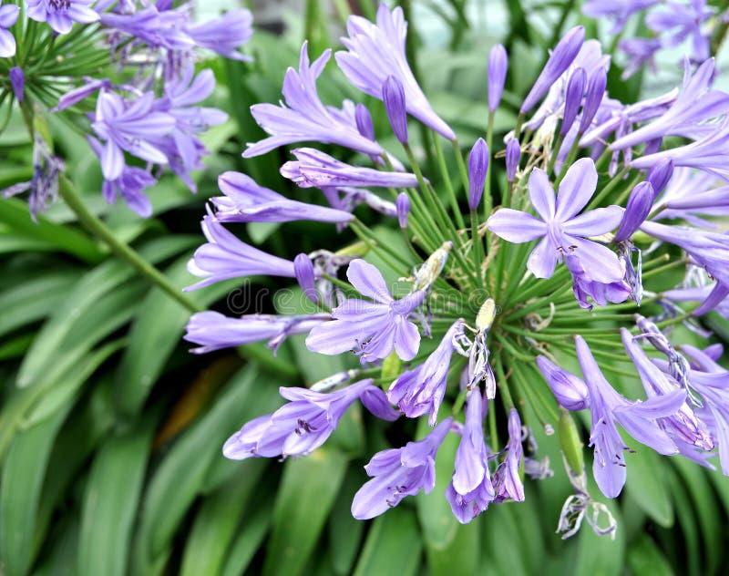 lirio floreciente Azul-violeta delante de las hojas verdes imagen de archivo