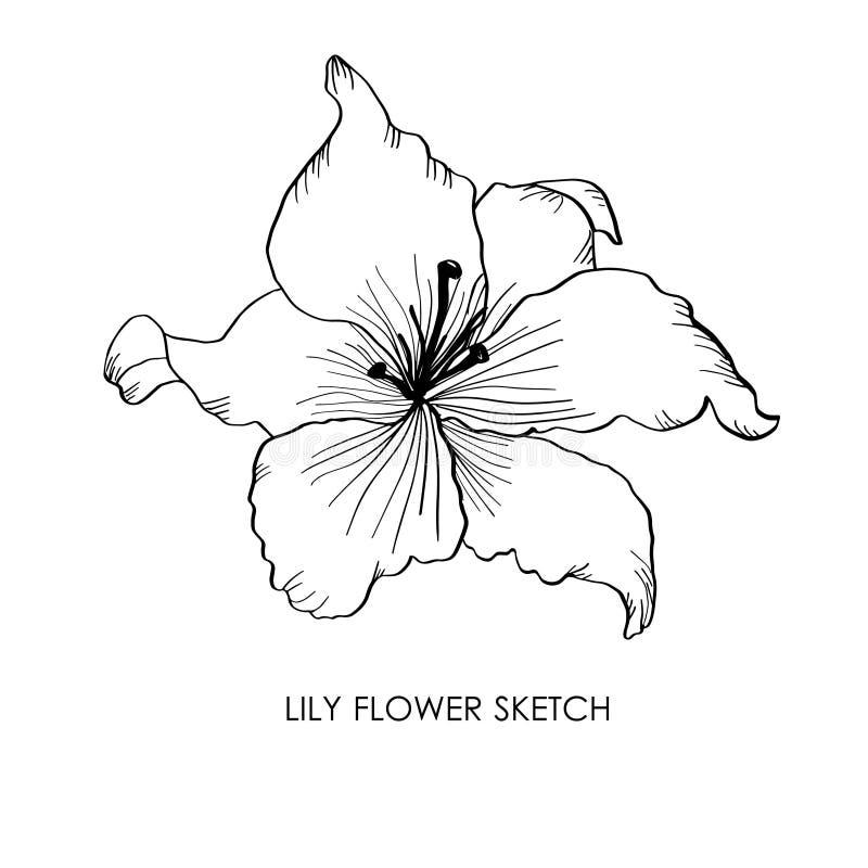 Lirio Ilustración portadora de flores de lirio dibujado a mano Dibujo de dibujo de Lily libre illustration