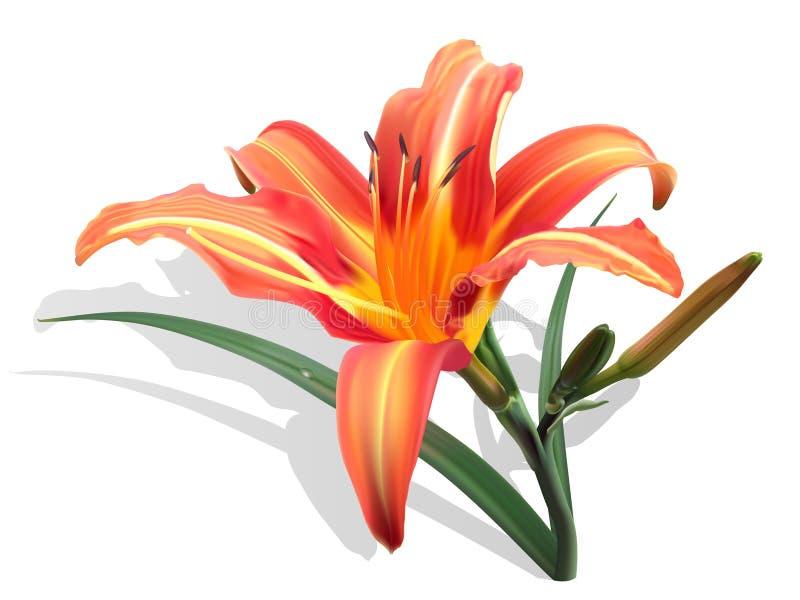 Lirio naranja-amarillo en el fondo blanco ilustración del vector