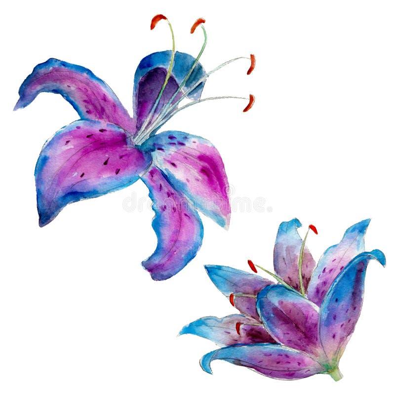 Lirio púrpura aislado en el fondo blanco, ejemplo de la acuarela libre illustration