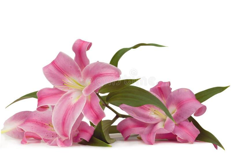 Lirio rosado fotografía de archivo libre de regalías