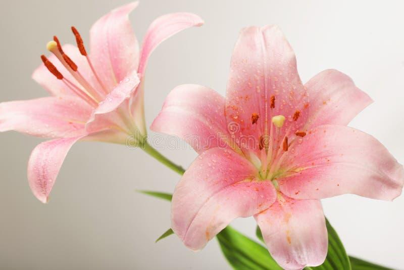 Lirio rosado de la flor fotografía de archivo libre de regalías