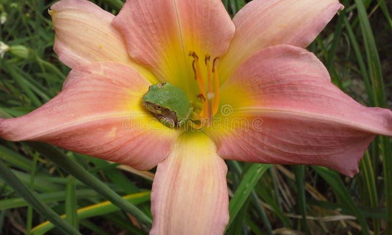 Lirio rosado y Treefrog horizontales fotos de archivo