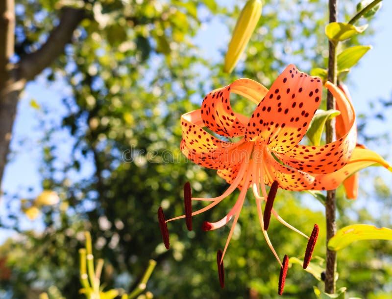 Lirio tigrado manchado anaranjado del lirio en el jardín en un día soleado imagen de archivo