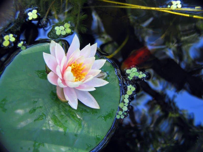 Download Lirio y pescados imagen de archivo. Imagen de aleta, flores - 182397
