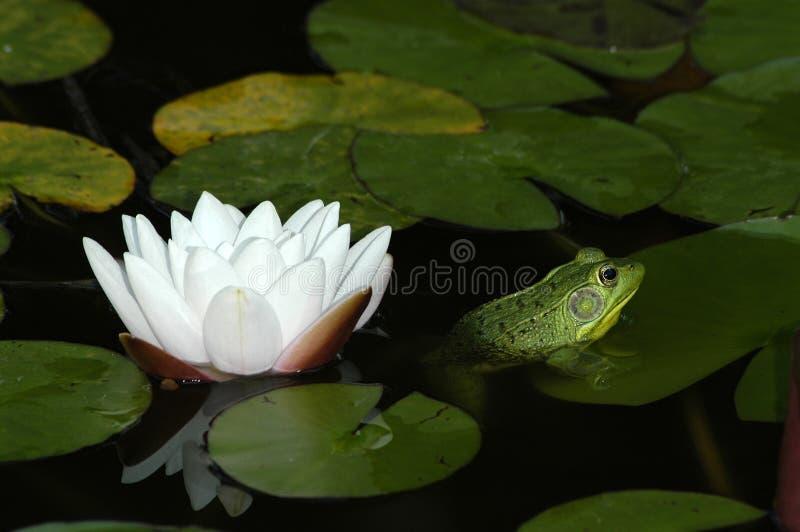 Lirio y rana de agua. imagen de archivo