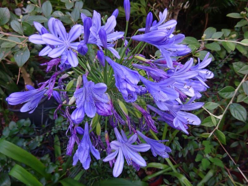 Lirios africanos o lirio del Nilo - el azul de la lavanda coloreó las flores, Porgual fotos de archivo