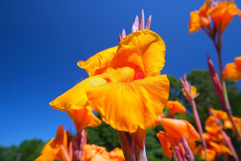 Lirios amarillos hermosos fijados en cielo soleado azul claro imagen de archivo