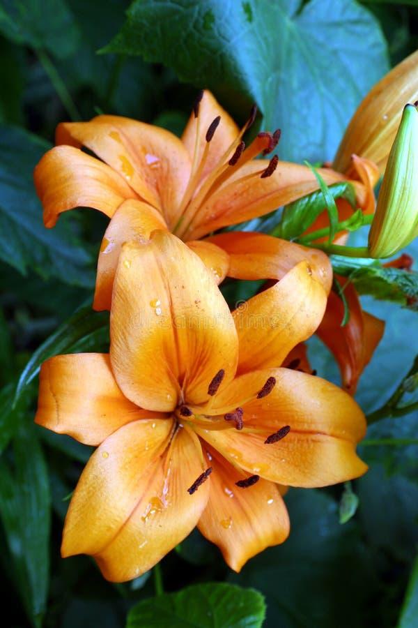 Lirios anaranjados fotografía de archivo libre de regalías