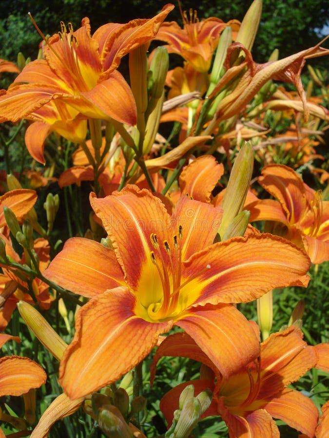 Download Lirios anaranjados imagen de archivo. Imagen de botánica - 42440341