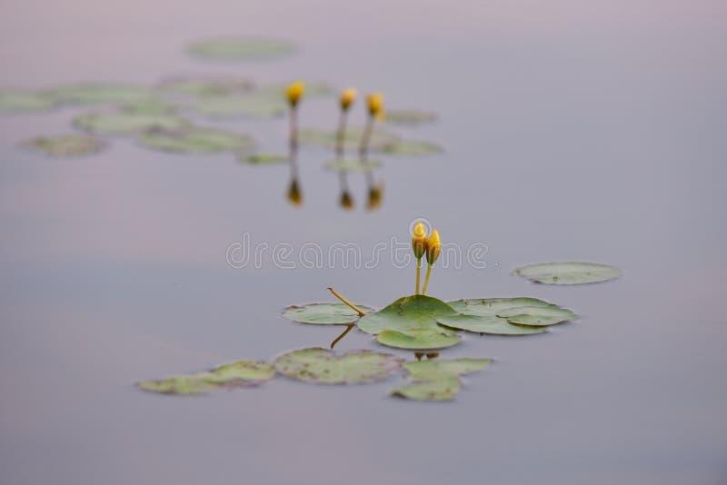 Lirios de agua amarilla en el salvaje imagen de archivo