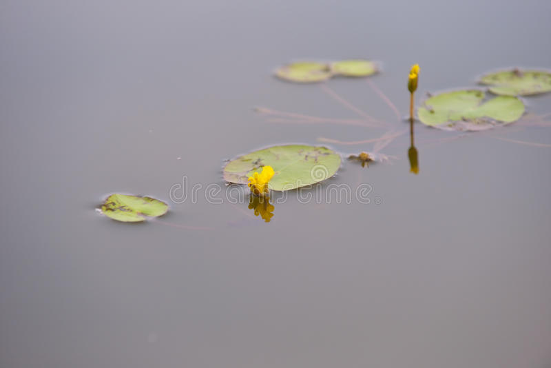 Lirios de agua amarilla en el salvaje imagenes de archivo