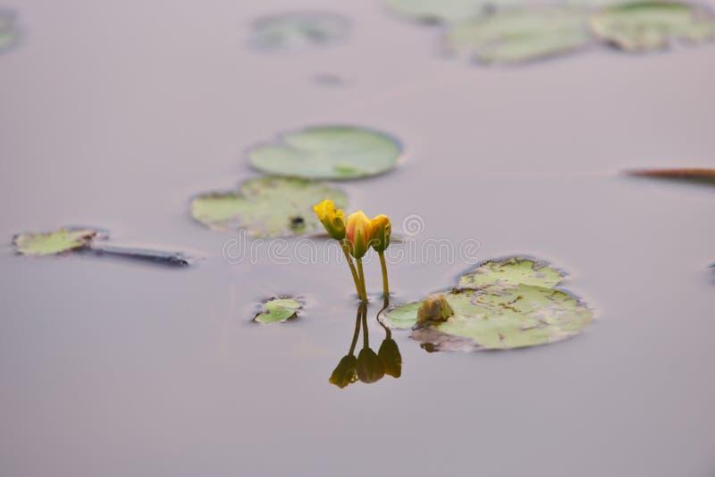 Lirios de agua amarilla en el salvaje fotos de archivo libres de regalías