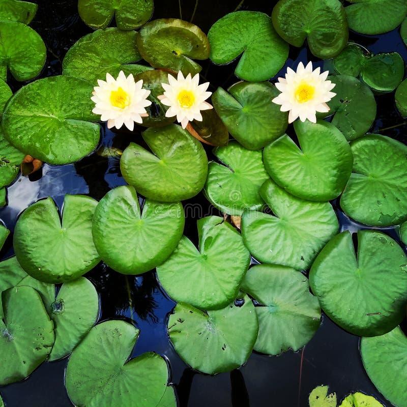 Lirios de agua con las flores amarillas imagen de archivo