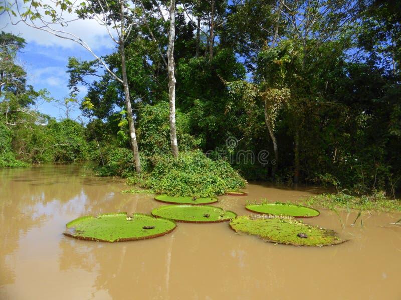 Lirios de agua en selva tropical inundada foto de archivo libre de regalías