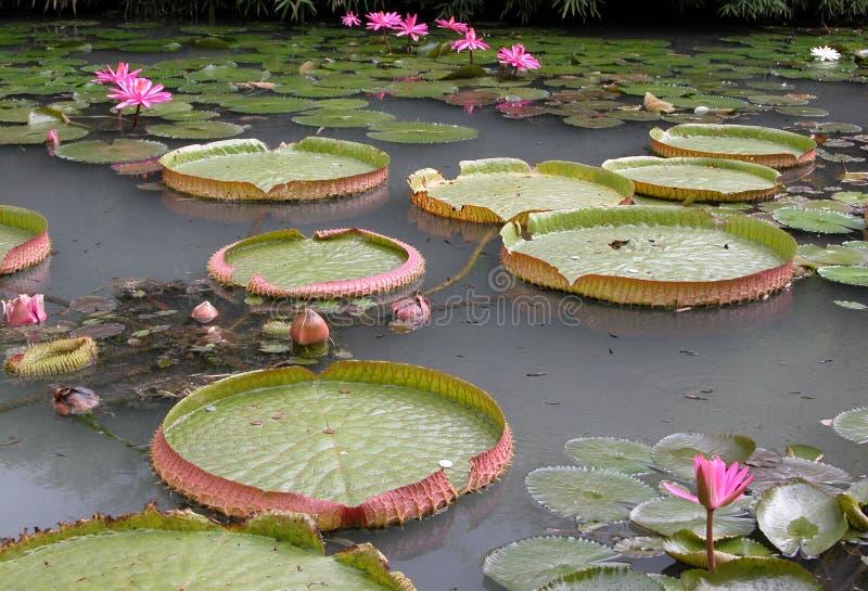 Lirios de agua en un lago fotografía de archivo libre de regalías