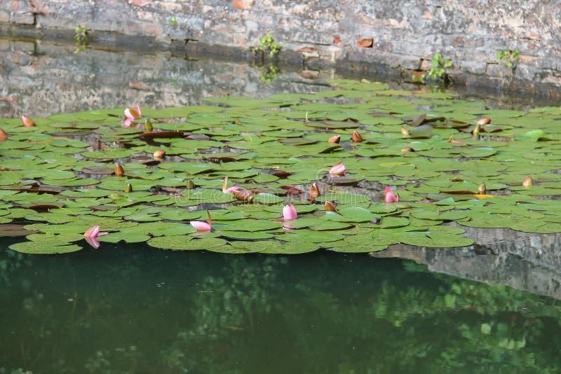 Lirios de agua rosados en la charca imágenes de archivo libres de regalías