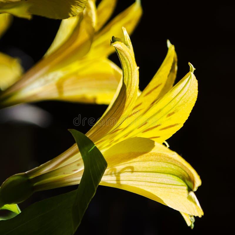Lirios de día de primavera más fáciles amarillos 002 fotografía de archivo libre de regalías