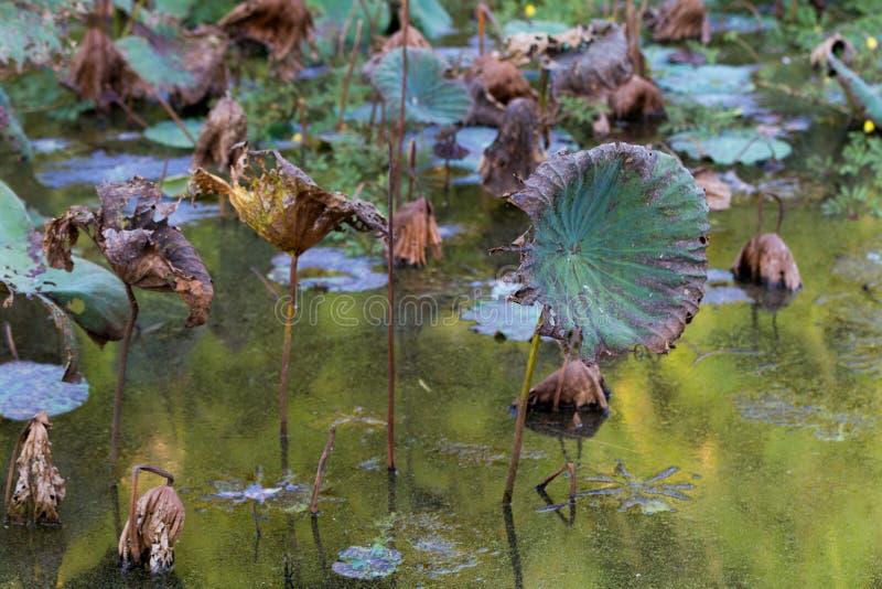 Lirios de la charca de Waterlily, seca y muerta de agua, flor de loto muerta, fondo coloreado hermoso con el lirio de agua en la  fotos de archivo
