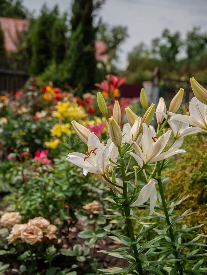 Lirios florecientes en el jardín, floricultura como afición fotos de archivo libres de regalías