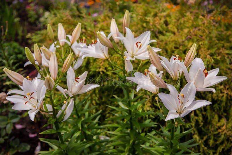 Lirios florecientes en el jardín, floricultura como afición imagenes de archivo