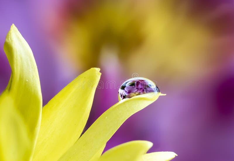 Lirios púrpuras refractados en gotita de agua en la flor amarilla imagenes de archivo