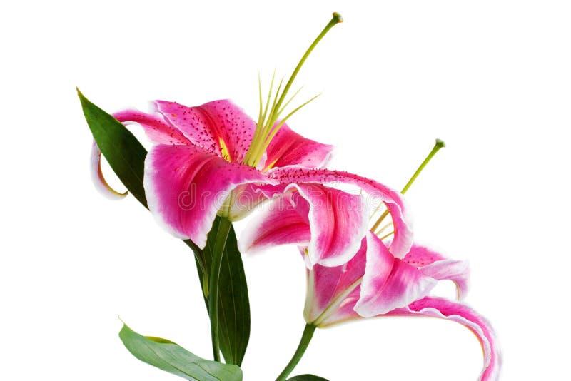 Lirios rosados de la flor imagen de archivo libre de regalías