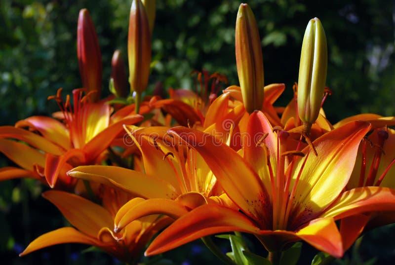 Lirios tigrados anaranjados en jardín en la puesta del sol imagenes de archivo