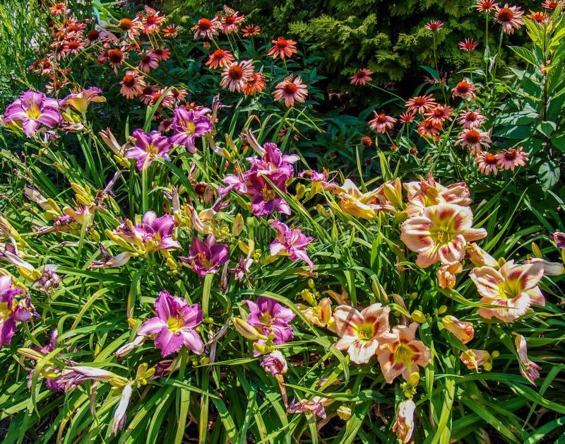 Lirios y jardín de flores del Echinacea imagen de archivo libre de regalías