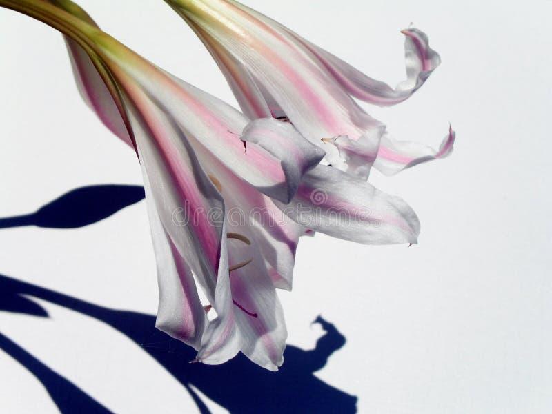 Lirios y sombras imagenes de archivo