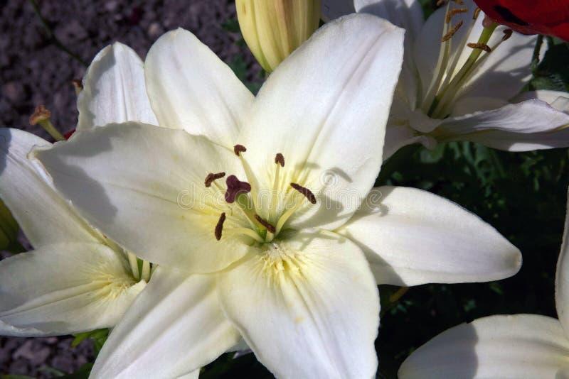 Lis assez blancs dans un jardin anglais estival sur un fond foncé images stock