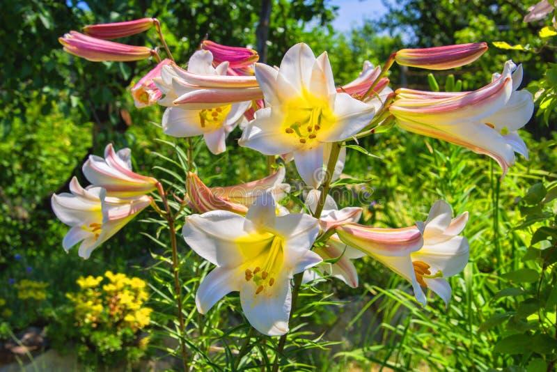 lis Blanc-rose Lis de floraison dans le jardin image stock