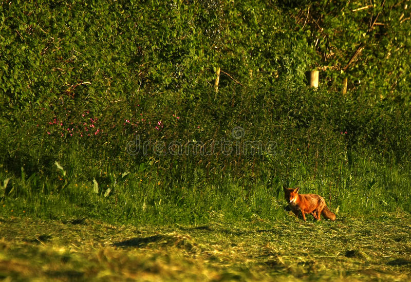 lis brytyjska czerwień zdjęcie royalty free