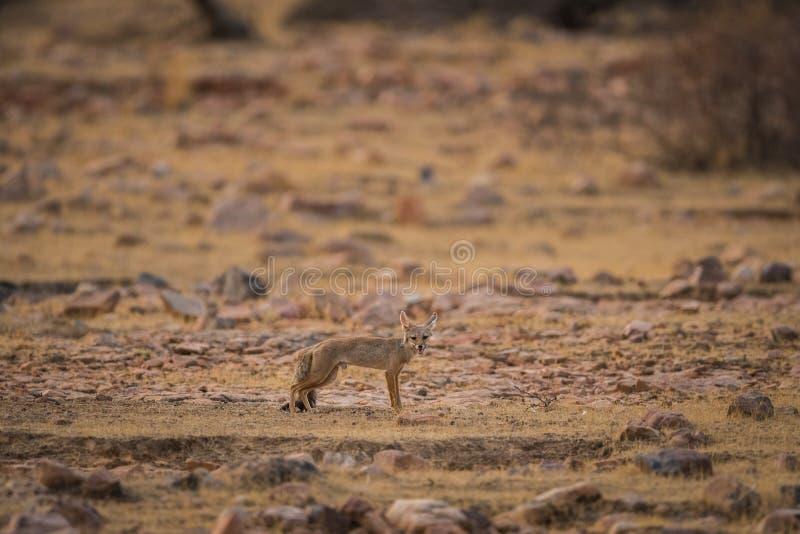 Lis ciuci Vulpes bengalensis przy Ranthambore parkiem narodowym obraz royalty free