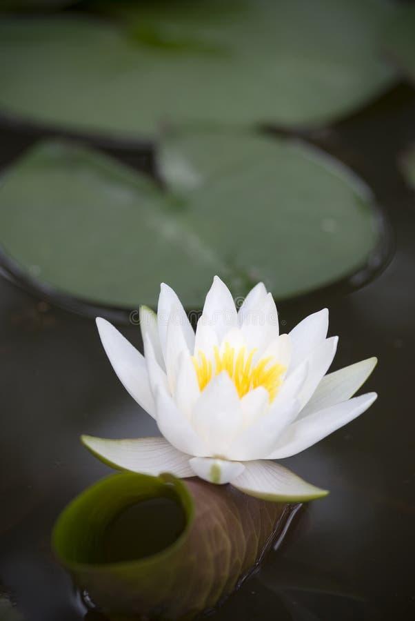 Lis d'eau blanche (Nymphaea alba) photographie stock