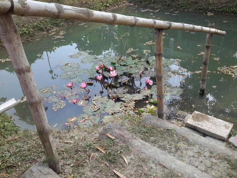 Lis d'eau dans l'étang photo stock