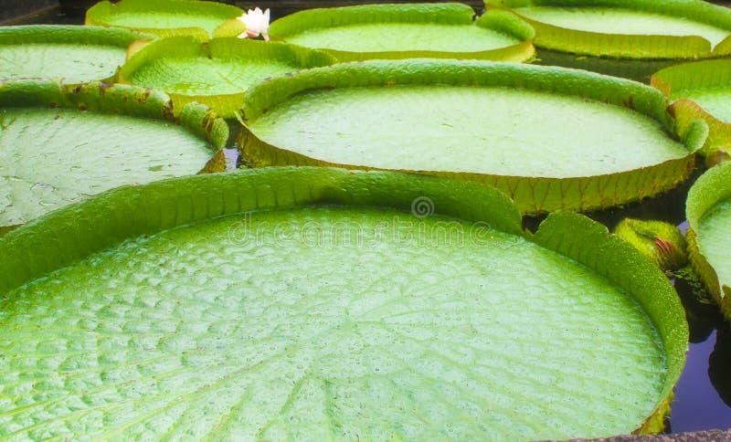 Lis d'eau royaux de Victoria Amazonica image stock