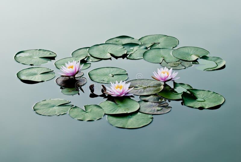 Lis d'eau trois rose image libre de droits