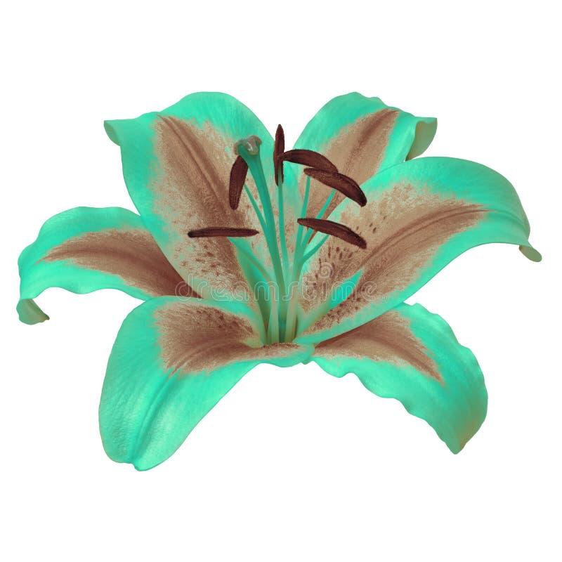 Lis de brun de turquoise de fleur d'isolement sur le fond blanc avec le chemin de coupure Plan rapproch? photos libres de droits