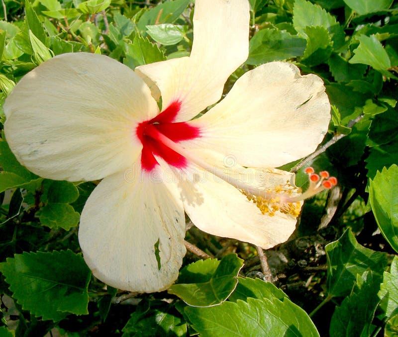 Lis De Cancun Photographie stock