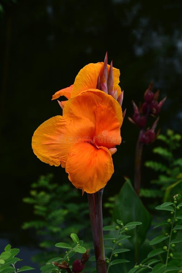 Lis de canna orange image libre de droits