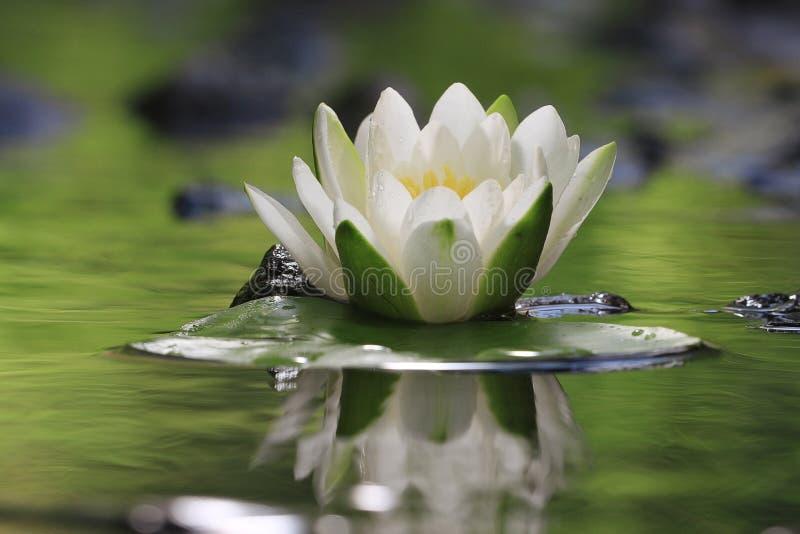 Lis de fleur à l'eau pure images stock