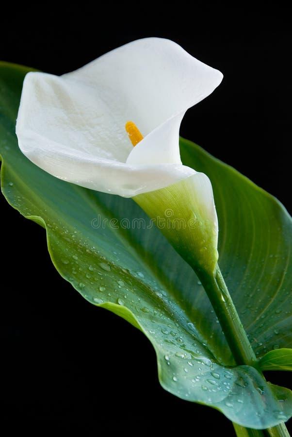 lis de fleur de calla images libres de droits