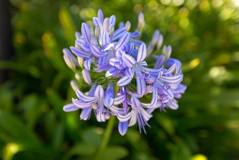 Lis de la fleur du Nil dans la couleur pourpre bleue, également appelé l'Afrique photo libre de droits