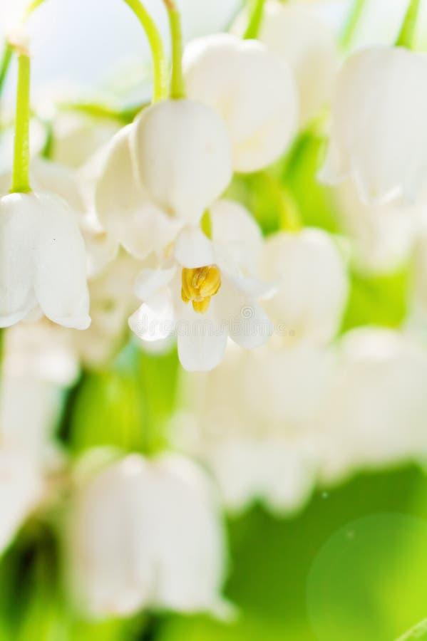 Lis de la vallée, plan rapproché de fleur photos stock