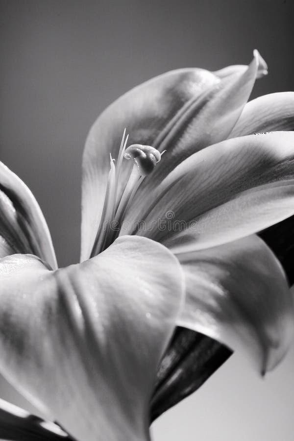 Lis de Pâques noir et blanc image stock