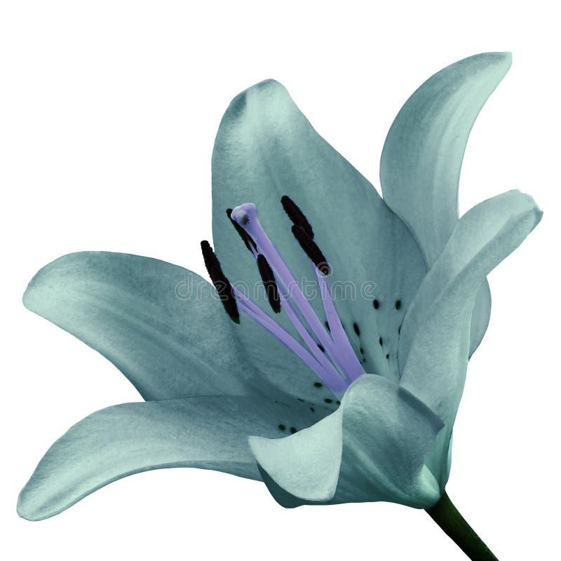 Lis de turquoise de fleur d'isolement sur le fond blanc Plan rapproché photographie stock libre de droits