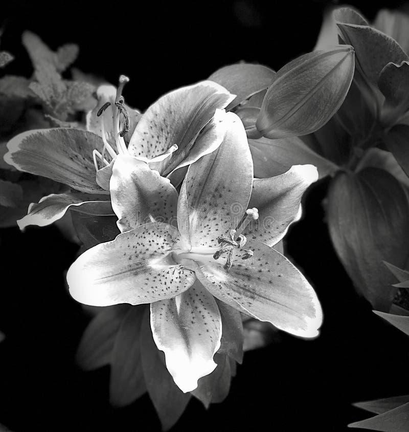Lis fleurissant en plan rapproché noir et blanc photos libres de droits
