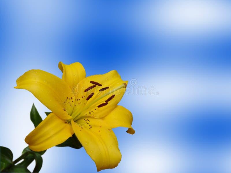 Lis jaune photos stock