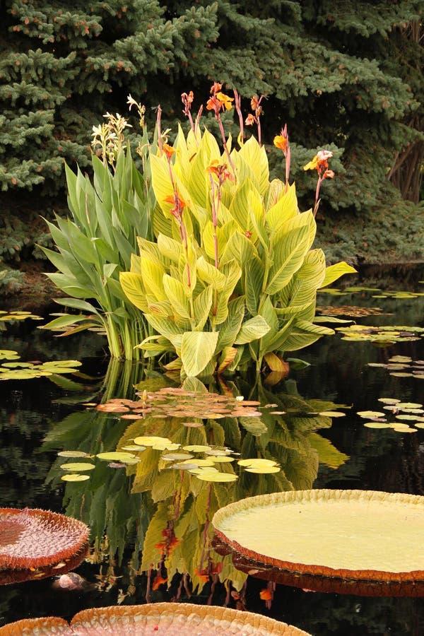 Lis jaunes en fleur photographie stock libre de droits